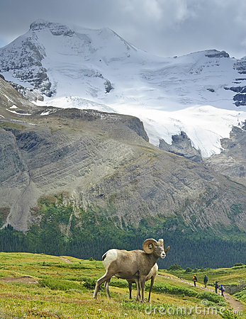 Big Horn Sheep, Jasper NP