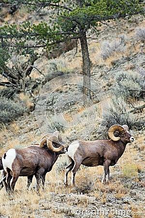 Free Big Horn Sheep Rams Royalty Free Stock Image - 17996576