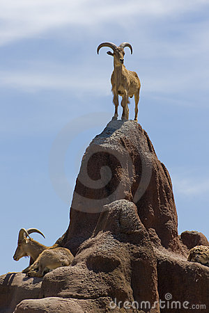 Free Big Horned Mountain Goats Stock Images - 11348254