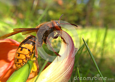 Big hornet on a flower