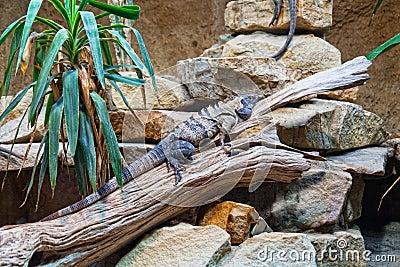Big iguanas