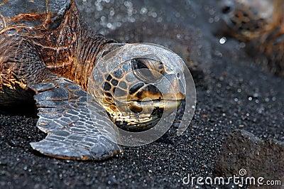Big Island Sea Turtle