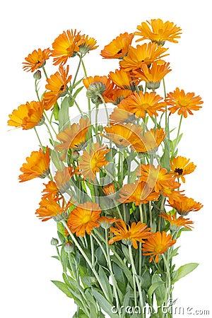 Big isolated Bush of orange  flowers