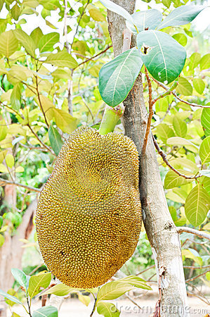 Big jackfruit