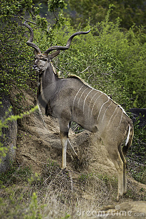 Big Kudu