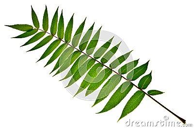 Big leaf.