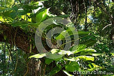 Big leafy plant on tree