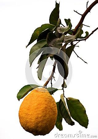 Big lemon fruit
