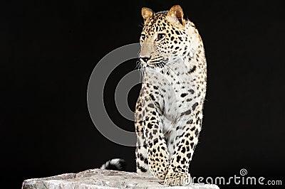 Big leopard stands on rock