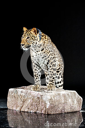Big leopard stands on rock