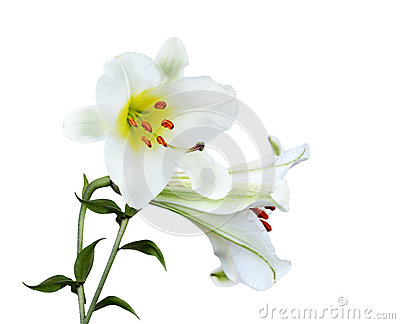 Big Lily