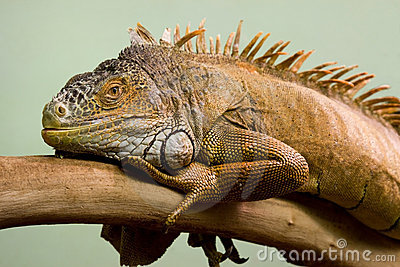 Big lizard on branch