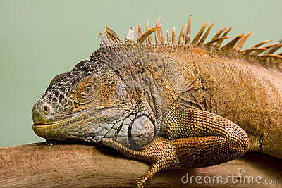 Big lizard close-up