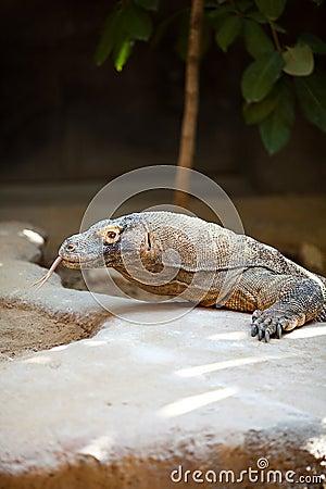 Big lizard dragon