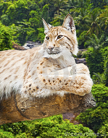 Big lynx