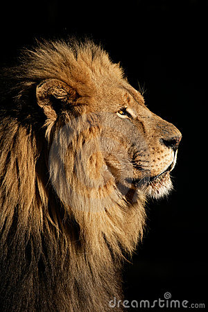 Free Big Male African Lion Stock Photos - 3661933