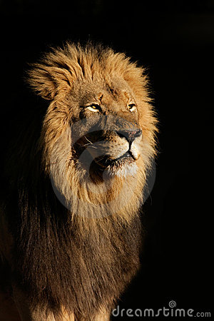Free Big Male African Lion Royalty Free Stock Photo - 4322845