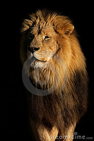 Free Big Male African Lion Stock Image - 4322861