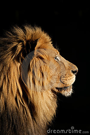 Free Big Male African Lion, South Africa Stock Images - 4322824