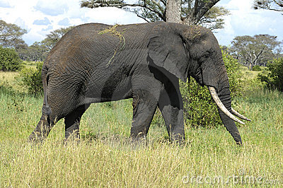 Big male elephant