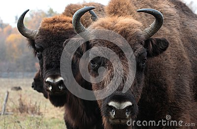 Big male of european bison stands in the autumn forest