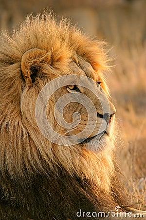 Free Big Male Lion Stock Photography - 2220822