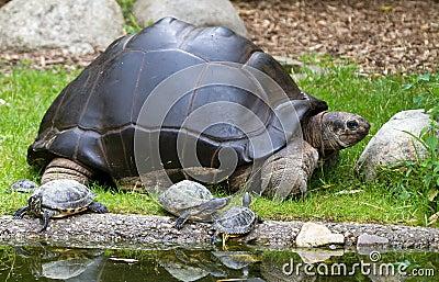 Big mamma turtle