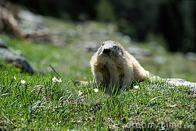Big marmot walking in the grass and flowers