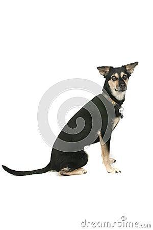 Big mixed breed dog sitting on white background