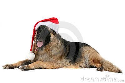 Big mixed breed dog wearing a santa hat