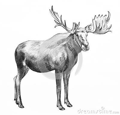 Free Big Moose With Antlers, Hand Drawn Illustration Stock Images - 55520264