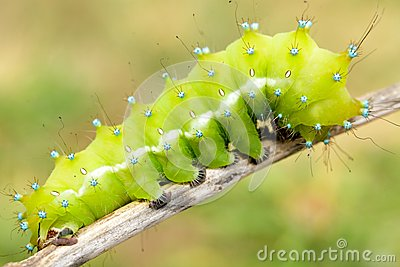 Big moth caterpillar