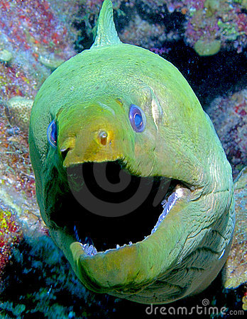 Big mouth Eel