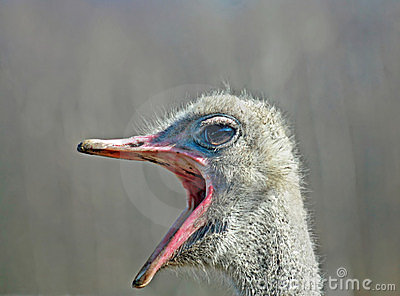 Big Mouth Ostrich
