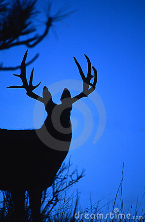 Big Mule Deer Buck Silhouetted