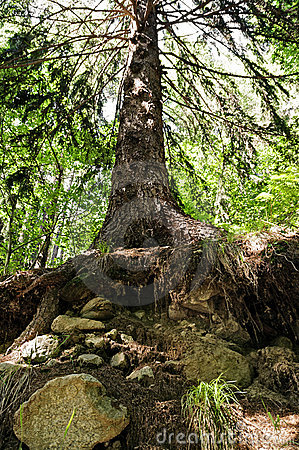 Big norway spruce in the forest Stock Photo