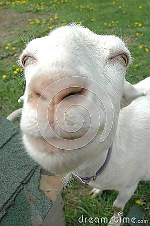 Big Nosed Goat