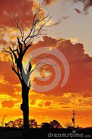 A big old dead gum tree outback Australian sunset