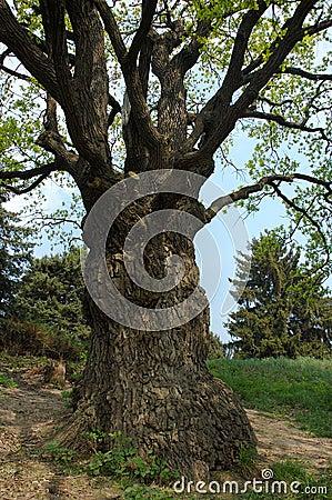 Big old oak-tree