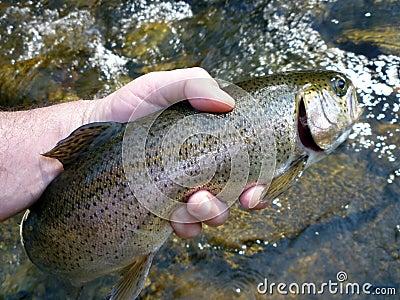 Big Owens Creek Rainbow Trout
