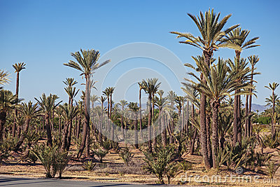 Big palm grove