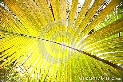 Big palm leaf