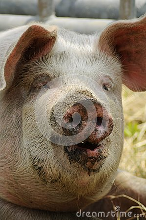 Big pig with dirty face