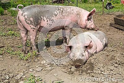 Big pig on the farm