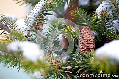 Big Pine Cone
