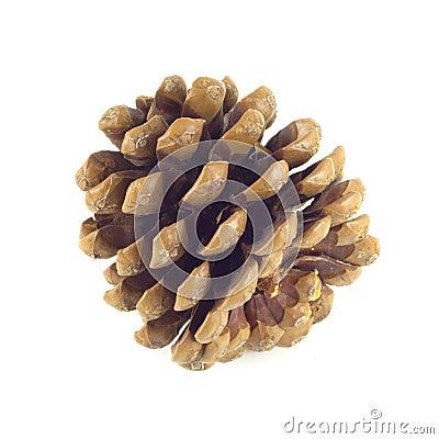 Big pine cone closeup