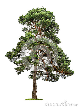 Free Big Pine Tree On A White Background Royalty Free Stock Images - 31812799
