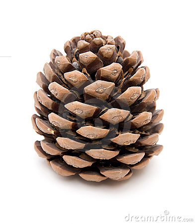 Big piny cone