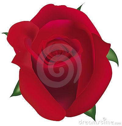 Big red rose.