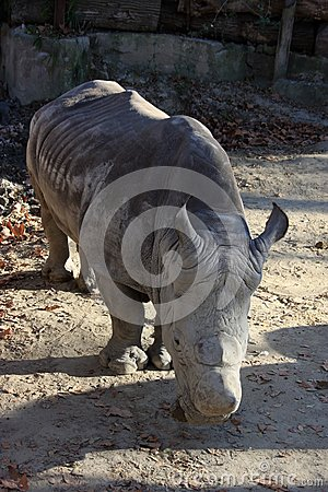 Big rhino standing out in the sun